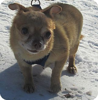 Chihuahua Mix Dog for adoption in Forked River, New Jersey - Lulu
