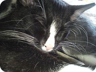 Domestic Shorthair Kitten for adoption in North Kansas City, Missouri - Danny