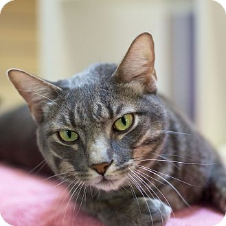 Domestic Shorthair Cat for adoption in Houston, Texas - Lil Grey