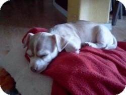 Chihuahua Mix Puppy for adoption in Mesa, Arizona - Chai