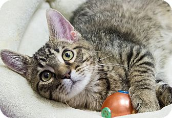 Domestic Shorthair Kitten for adoption in Chicago, Illinois - Toes Dancer
