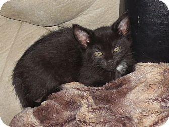 Domestic Shorthair Kitten for adoption in Bentonville, Arkansas - Tippi
