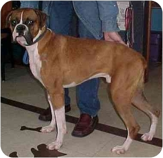 Boxer Dog for adoption in North Judson, Indiana - Chin