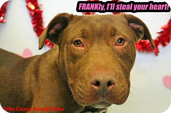 Pit Bull Terrier Mix Dog for adoption in Sidney, Ohio - Frank