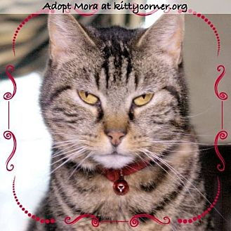 Domestic Shorthair Cat for adoption in Liverpool, New York - Mora