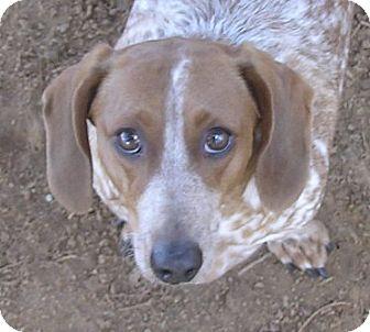Dachshund Mix Dog for adoption in Cross Roads, Texas - Rudy