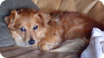 Pomeranian/Spaniel (Unknown Type) Mix Dog for adoption in Woodinville, Washington - Tobin