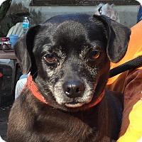 Adopt A Pet :: Pugger - Orlando, FL