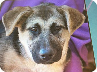 German Shepherd Dog Puppy for adoption in Los Angeles, California - Portia Von paderborn