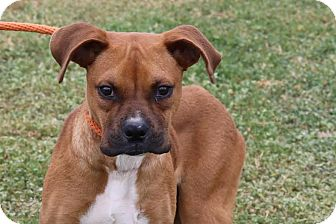 Boxer Dog for adoption in Pluckemin, New Jersey - Cooper