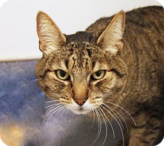 Domestic Shorthair Cat for adoption in Bellevue, Washington - Gunner