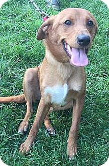 Labrador Retriever Mix Puppy for adoption in WESTMINSTER, Maryland - Prince