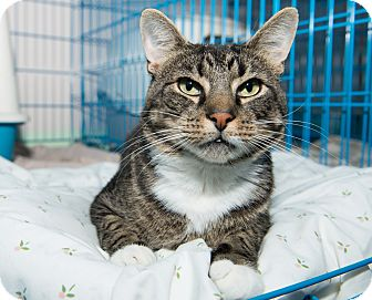 Domestic Shorthair Cat for adoption in New York, New York - Chilly