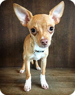 Chihuahua Mix Puppy for adoption in Fredericksburg, Texas - Boots