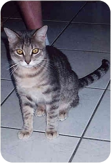 Domestic Shorthair Cat for adoption in Owatonna, Minnesota - Gizmo