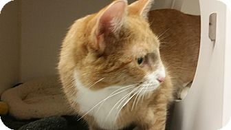 Domestic Shorthair Cat for adoption in Reisterstown, Maryland - Ginger