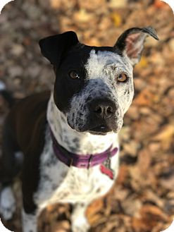 Pit Bull Terrier/Staffordshire Bull Terrier Mix Dog for adoption in Florence, Kentucky - Maxine