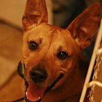 German Shepherd Dog/Basenji Mix Dog for adoption in Attalla, Alabama - Shep