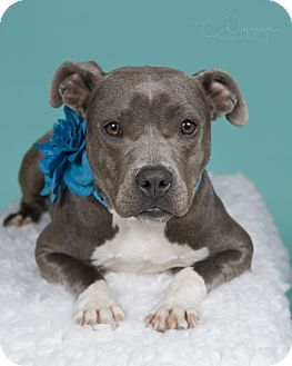 Pit Bull Terrier Mix Dog for adoption in Baton Rouge, Louisiana - Honey
