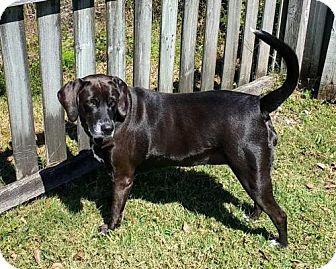 Labrador Retriever Mix Dog for adoption in Tampa, Florida - Bella Dee*