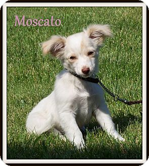 Papillon/Spaniel (Unknown Type) Mix Puppy for adoption in Milford, New Jersey - Moscato~PENDING~
