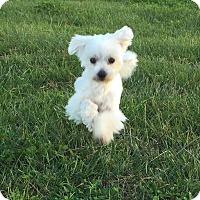 Maltese Dog for adoption in San Diego, California - Annie