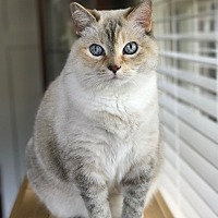 Domestic Shorthair Cat for adoption in Knoxville, Tennessee - Chloe **Declawed**