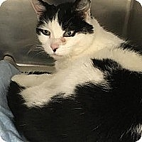 Domestic Shorthair Cat for adoption in Baltimore, Maryland - Baby and Opelia