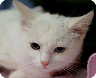 Domestic Mediumhair Kitten for adoption in Allentown, Pennsylvania - Polar
