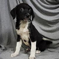 Adopt A Pet :: Becca - Champaign, IL