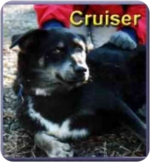 Husky/German Shepherd Dog Mix Dog for adoption in Aldie, Virginia - Cruiser