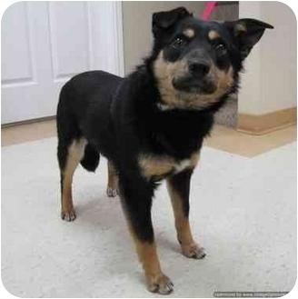 Shepherd (Unknown Type) Mix Dog for adoption in Morden, Manitoba - Bandit