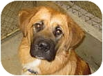 Leonberger/St. Bernard Mix Puppy for adoption in Libby, Montana - Bandit