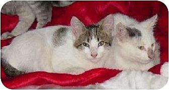 Domestic Shorthair/Domestic Shorthair Mix Cat for adoption in Schertz, Texas - Lewis