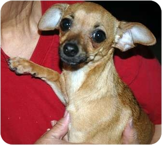 Dachshund/Chihuahua Mix Dog for adoption in Arcadia, California - Teeny