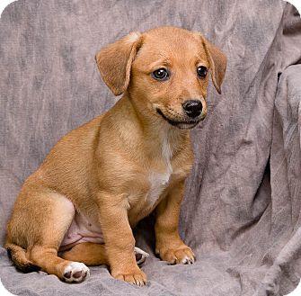 Chihuahua/Dachshund Mix Puppy for adoption in Anna, Illinois - CUTIE