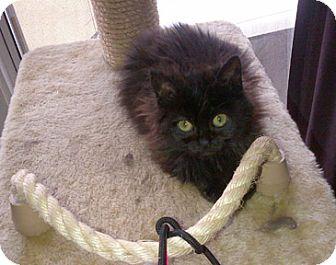 Domestic Longhair Kitten for adoption in San Leandro, California - Java