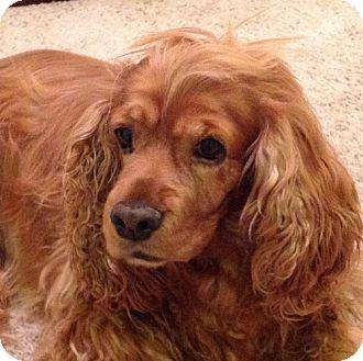 Cocker Spaniel Dog for adoption in Toluca Lake, California - SKITTLES