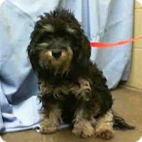 Adopt A Pet :: Lola - PREGNANT - NEEDS FOSTER - Seattle, WA