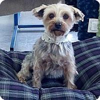 Adopt A Pet :: Duchess - Goodyear, AZ