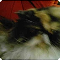 Adopt A Pet :: Callie - Syracuse, NY