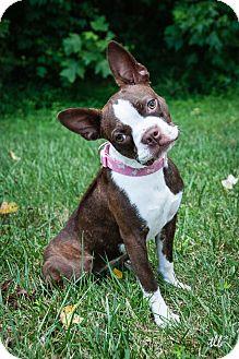 Boston Terrier Puppy for adoption in Greensboro, North Carolina - Belle