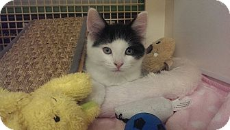 Maine Coon Kitten for adoption in Stafford, Virginia - Oakland