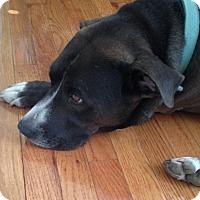 Adopt A Pet :: Kayto - Courtesy Posting - New Canaan, CT