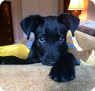 Labrador Retriever Mix Puppy for adoption in Phoenix, Arizona - Diesel