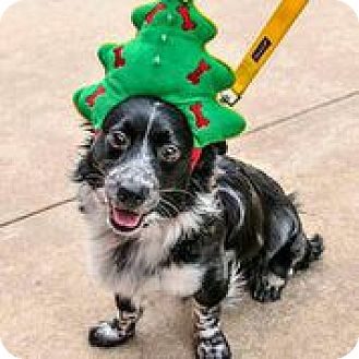 Border Collie/Terrier (Unknown Type, Small) Mix Dog for adoption in Austin, Texas - Scully