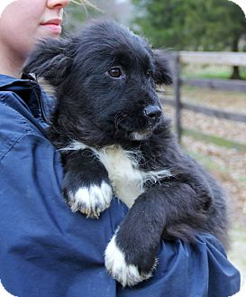 Newfoundland Mix Puppy for adoption in Stamford, Connecticut - LEONA