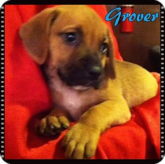 Boxer Mix Puppy for adoption in Ahoskie, North Carolina - Grover