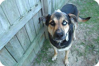 Husky/German Shepherd Dog Mix Dog for adoption in Darlington, South Carolina - Reagan