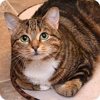 Domestic Shorthair Cat for adoption in Barrington, Illinois - Daisy